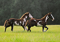 American Paint Horse weanling foals run across open green field.