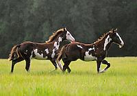 American Paint Horse weanling foals run across open green field.