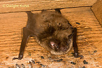 MA20-598z  Little Brown Bats, Myotis lucifugus