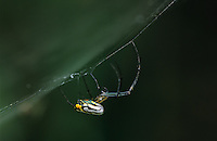 Large-jawed Orb Weaver, Tetragnathidae, adult in web, The Inn at Chachalaca Bend, Cameron County, Rio Grande Valley, Texas, USA, May 2004