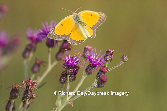 03074-00510 Orange Sulphur Butterfly (Colias eurytheme) in flight near Missouri Ironweed (Veronia missurica), Marion Co., IL