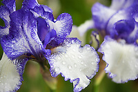 Blue Staccato iris close up. Schneider's Gardens. Oregon