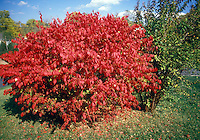 Euonymus alatus'Compactus' in autumn fall Burning Bush color