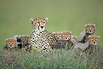 Pictured:  The Cheetah mother with her seven cubs, the seventh one hiding at the back.<br /> <br /> A family of newborn cheetah cubs crouch together and look innocently out at the world around them.  Cheetahs usually give birth to a litter of three to five cubs, and because the young are very vulnerable to predators, such as lions and leopards, many are killed before they reach adulthood.<br /> <br /> This family is made up of a mother, Siligi (meaning hope in Swahili) and her seven cubs, six of whose faces can be seen in the photo with the seventh lying just visible behind them.  Rangers have been protecting Siligi and her cubs since she gave birth in an area of deserted grassland called Kisincha, in the Masai Mara, Kenya.  SEE OUR COPY FOR DETAILS.<br /> <br /> Please byline: Antonio Liebana/Avalon/Solent News<br /> <br /> © Antonio Liebana/Avalon/Solent News & Photo Agency<br /> UK +44 (0) 2380 458800