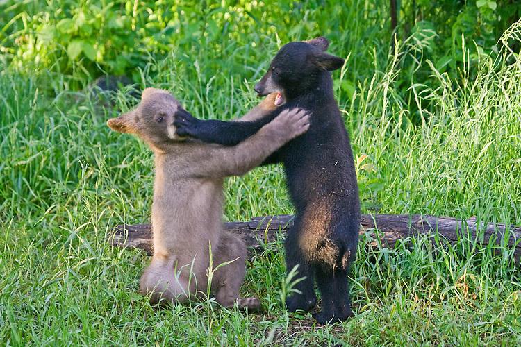 Pair of Cinnamon Black Bear cubs wrestling in a field