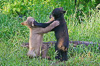 Pair of Cinnamon Black Bear cubs wrestling in a field