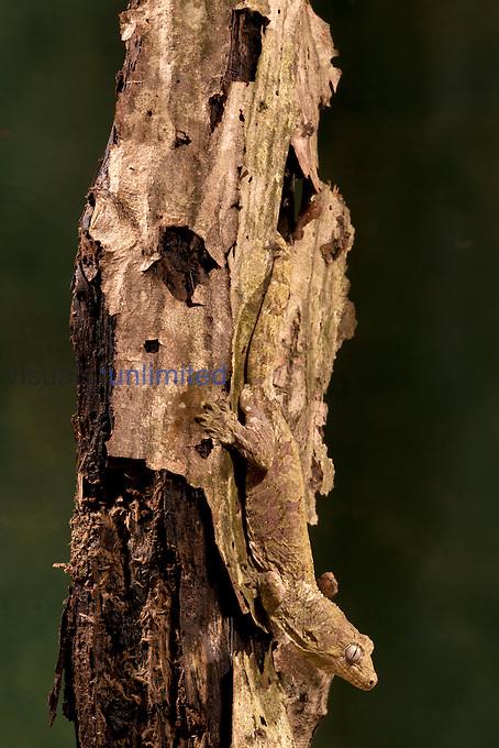 Giant Gecko (Rhacodactylus chahoua), New Caledonia. Captivity