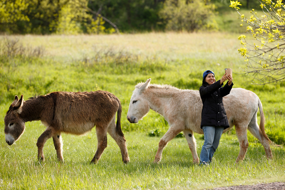 A tourist takes a selfie with donkeys along the Wildlife Loop Road in Custer State Park in South Dakota on Sunday, May 21, 2017. (Photo by James Brosher)