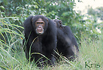 Kris bristled<br /> Eastern Chimpanzee, Gombe National Park, Tanzania<br /> 2004