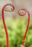 Fern fiddleheads form a heart at the Mink River Nature Conservancy in Door County, Wisconsin