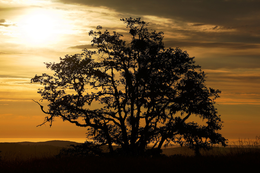 Oak tree silhouetted against sunset sky, Bald Hills prairie, Redwood National Park, California
