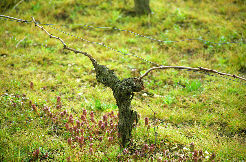 Guyot pruned vines in the vineyard. Margaux. Medoc, Bordeaux, France