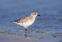 Black-bellied Plover, Pluvialis squatarola,adult winter plumage, Sanibel Island, Florida, USA, Dezember 1998
