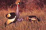 African wildlife, Crowned Crane, Kenya, Maasai Mara National Park