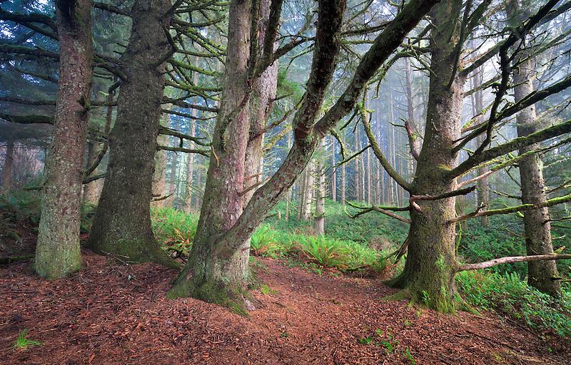 Sitka Spruce trees in fog. Samuel H. Boardman State Scenic Corridor. Oregon