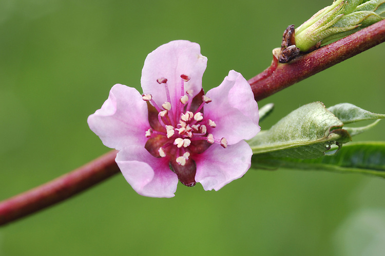 Peach Prunus persica (Rosaceae) HEIGHT to 6m <br /> Small, bushy and rounded deciduous tree. BARK Dark brown. BRANCHES Straight, with smooth, reddish, angular twigs. LEAVES Alternate, lanceolate, finely toothed, often creased into V-shape. REPRODUCTIVE PARTS Pink flowers, to 4cm across, are usually solitary; open at same time as leaf buds; yellow-tipped anthers. Fruits is familiar peach, to 8cm long, rounded and downy, flushed pink; sweet, juicy flesh when ripe. Seed contained inside a woody, thickly ridged 'stone'. STATUS AND DISTRIBUTION Probably native to China but long cultivated elsewhere. Here, it does best in a walled garden.