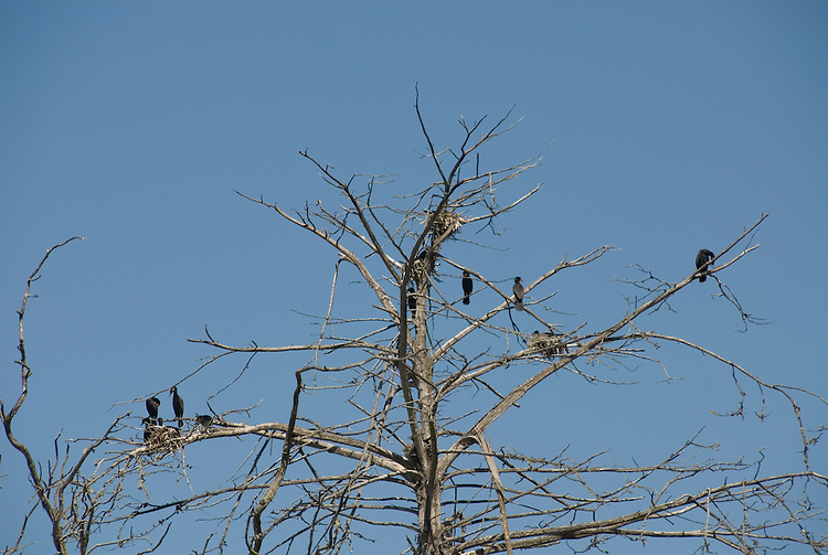 California, San Luis Obispo County: Morro Bay State Park, with Morro Rock, artists painting Morro Rock, rangers leading walks, and a heron rookery.  Herons and cormorants on tree..Photo caluis173-70895.Photo copyright Lee Foster, www.fostertravel.com, 510-549-2202, lee@fostertravel.com