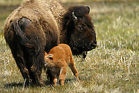 Bison (Bison bison) calves are born in early May in Yellowstone. The survival rate of these calves is much higher than elk calves (due to predators) because bison calves stay with the herd at all times. Elk calves are left behind as the herd grazes and the elk mother comes back later to nurse.