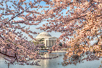Cherry Blossoms Jeggerson Memorial Tidal Basin Washington DC Cherry Blossoms Jefferson Memorial Tidal Basin Washington DC Cherry Blossoms blooming around the Tidal Basin in Washington, DC symbolize the natural beauty of our nation's capital city and has become part of Washington, D.C.'s rite of spring. Landmarks include the Jefferson Memorial, Washington Monument, and US Capitol. A popular tourist attraction and travel destination for many visiting Washington, D.C.