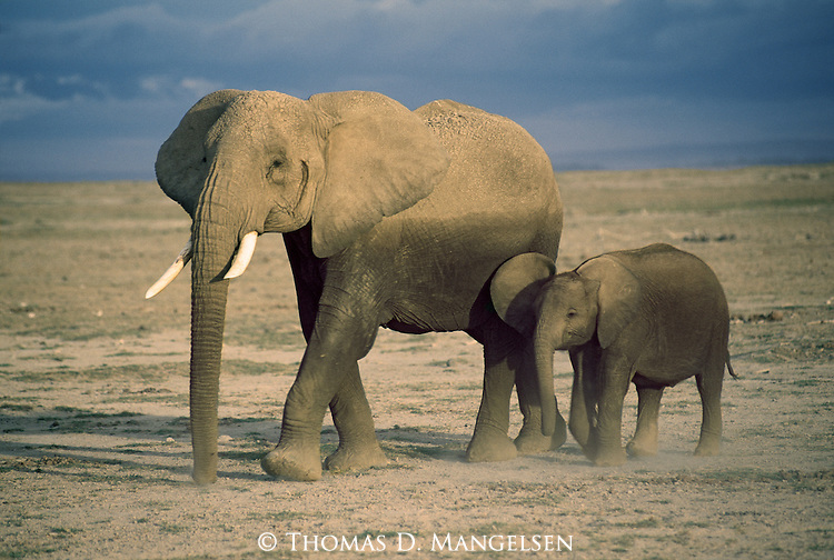 After cooling off from the sweltering heat in a nearby wallow, an elephant leads her calf across the dusty plains in Amboseli National Park in Kenya in the never-ending search for food and water.