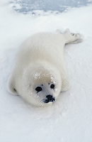 LL5444. Harp Seal (Phoca groenlandica), one week old pup. Magdalen Islands, Canadian Arctic..Photo Copyright © Brandon Cole. All rights reserved worldwide.  www.brandoncole.com..This photo is NOT free. It is NOT in the public domain. This photo is a Copyrighted Work, registered with the US Copyright Office. .Rights to reproduction of photograph granted only upon payment in full of agreed upon licensing fee. Any use of this photo prior to such payment is an infringement of copyright and punishable by fines up to  $150,000 USD...Brandon Cole.MARINE PHOTOGRAPHY.http://www.brandoncole.com.email: brandoncole@msn.com.4917 N. Boeing Rd..Spokane Valley, WA  99206  USA.tel: 509-535-3489
