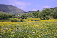 Daisies and buttercups in fields at Dinkling Green, Whitewell, Lancashire.