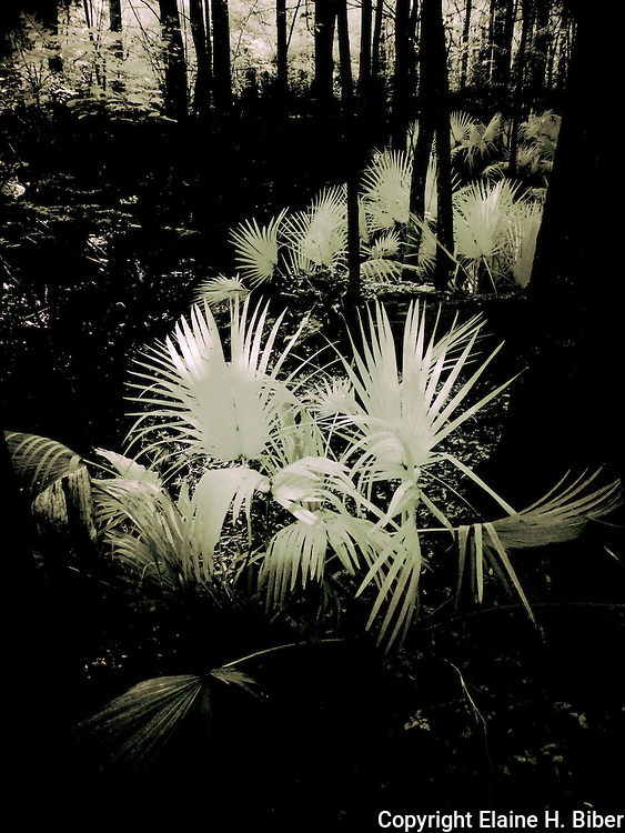 Infrared palmetto in Beibler Audobon Reserve, South Carolina