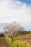 View over the vineyard in spring, vines in Cordon Royat training with an almond tree in bloom blossom Domaine de la Tour du Bon Le Castellet Bandol Var Cote d'Azur France