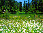 Mt Baker-Snoqualmie N.F., WA <br /> Avalanche lilies (Erythronium montanum) blooming on the lakeshore of Lake Christine in Glacier View Wilderness part of the Nisqually River Drainage