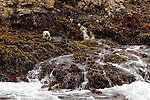 Sea Otter (Enhydra lutris) resting on shore covered with kelp, Point Lobos State Reserve, Monterey Bay, California