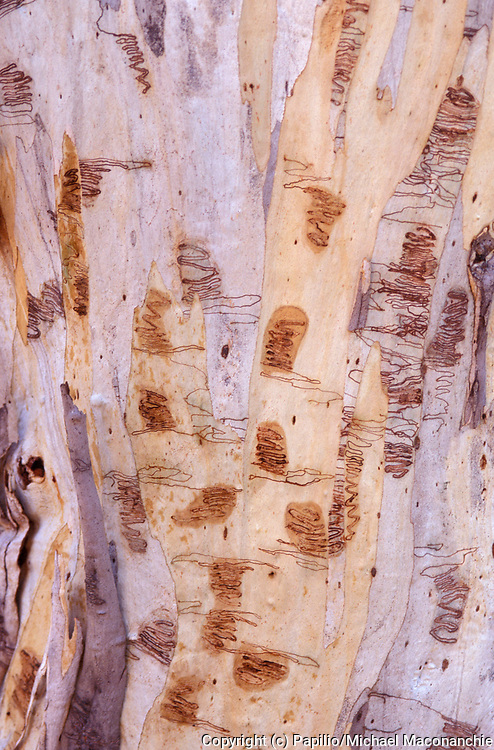 Snow Gum Tree, Eucalyptus pauciflora, Australia, close up of bark showing larvae trails, scribbles caused by the larvae of the moth Ogmograptis scribula, tiny moth, only 1 to 2 mm long which lays its eggs between the old and new bark