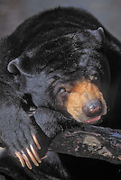 "The Sun Bear (Helarctos malayanus) is found primarily in the tropical rainforests of Southeast Asia. Its Malay and Indonesian name is Beruang Madu (""Honey Bear"").  The Sun Bear stands approximately 1.2 m (4 ft) in length, making it the smallest member in the bear family. It is often called the ""dog bear"" because of its small stature."