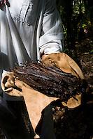 Vanila harvest at the ecological park Xanath, Papantla, Veracruz
