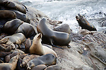 La Jolla Cove, San Diego, California; a bull male rejoins a group of California Sea Lions (Zalophus californianus) piled on top of one another, resting on the rocky shoreline, as waves from the Pacific Ocean crash against the rocks