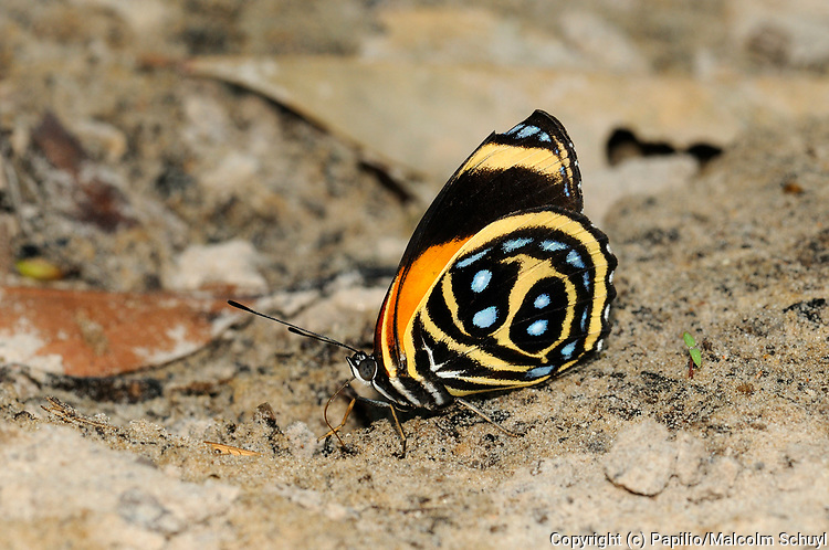 Texa Eighty-eight Butterfly ( Callicore texa) feeding on sandy ground on minerals, Alta Floresta, Brazil.