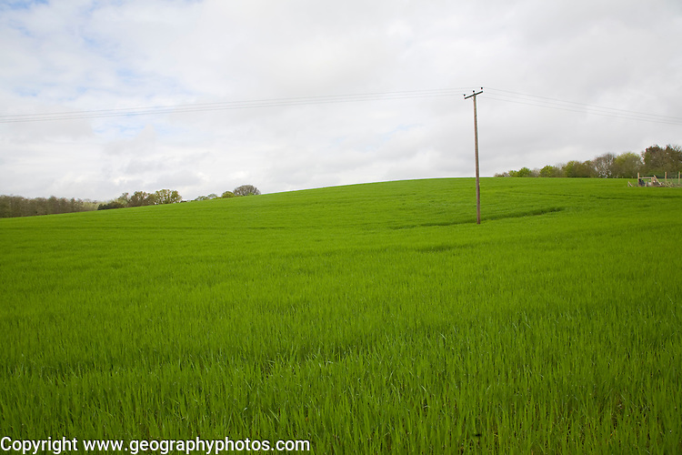 Green field of young barley growing on hillside, Shottisham, Suffolk, England