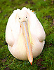 ZSL London Zoo Annual Count<br /> 4th January 2016 <br /> London Zoo, Regent's Park, London, Great Britain <br /> <br /> <br /> Eastern White Pelican <br /> <br /> <br /> Photograph by Elliott Franks <br /> Image licensed to Elliott Franks Photography Services