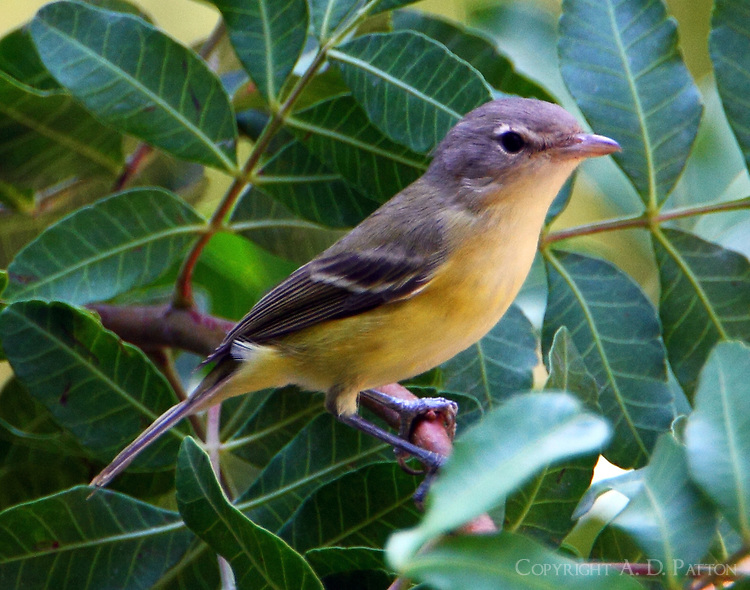 Bell's vireo adult in fall migration in early September