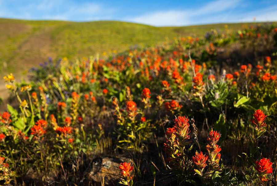 Red Castilleja flowers carpet the ground in Oregon at the Columbia River Gorge.
