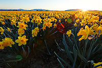 Sun rising over field of yellow dafodils, Skagit Valley, Mount Vernon, Skagit County, Washington, USA