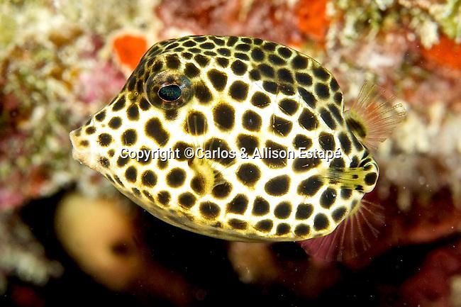 Lactophrys bicaudalis, Spotted trunkfish, Florida Keys