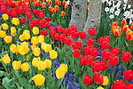Skagit County, WA               <br /> Colorful tulips in a Skagit Valley garden