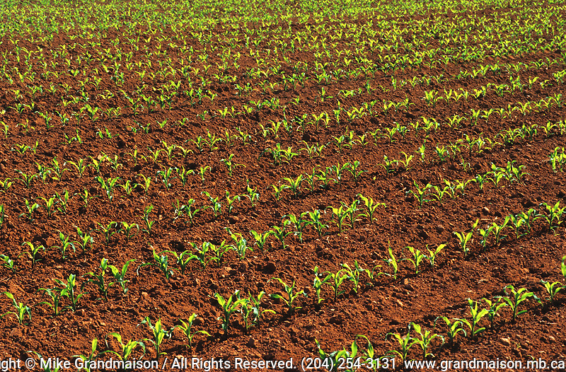 rows of corn seedlings in spring with iconic red soil