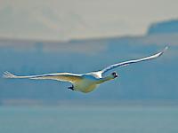 Swan in flight