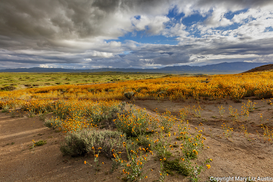 Carrizo Plain National Monument, CA: Flowering fiddlenecks (Amsinckia sp) in a wash with distant storm clouds over the Caliente Range