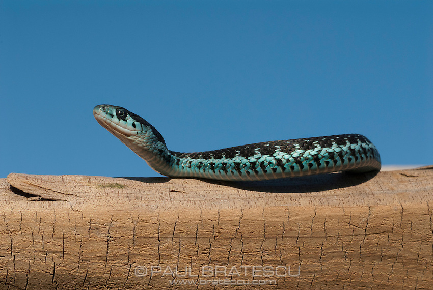 Puget Sound Garter Snake(Thamnophis sirtalis pickeringi)<br /> PUGET SOUND GARTER is found soley in the Puget Sound area of Washington state, this species is truly one of the most beautiful thamnophis species. Their colors vary from sky blue, bluish green to lime green w/ varying shades inbetween. Babies generally don't show these colors at birth and we do not know which colors they will turn out to be as adults. That being said there are times that they are blue at birth. This species feeds on fish, worms, slugs, tadpoles and frogs in the wild.