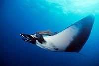 Pacific manta ray, Manta birostris, with remora on head, San Benedicto, Revillagigedos (Socorro) Islands, Mexico, Pacific Ocean