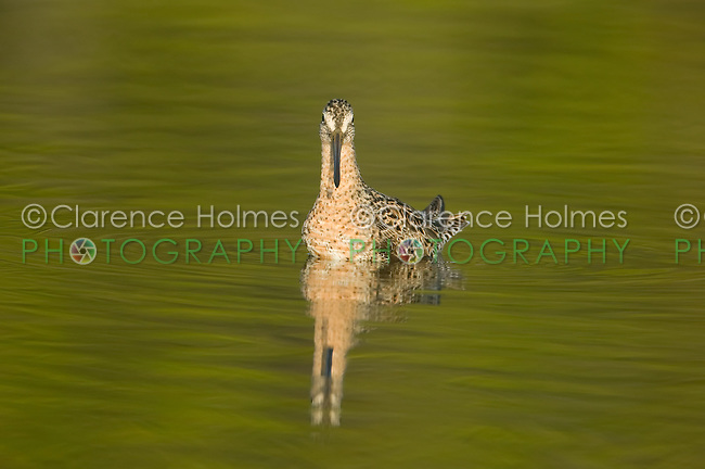 Short-billed Dowitcher (Limnodromus griseus) in shallow water with distorted reflection and green trees reflected