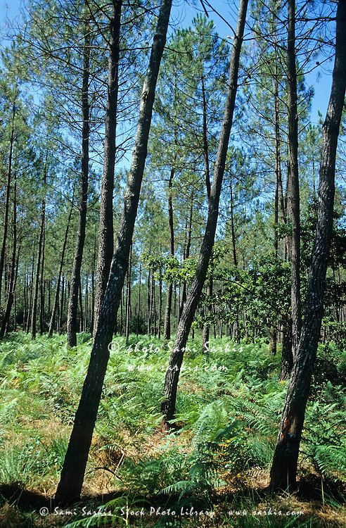 Maritime Pine trees (Pinus pinaster) in the Landes Forest, Aquitaine, France.