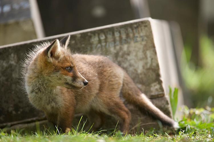 An urban living Red fox (Vulpes vulpes) cub.